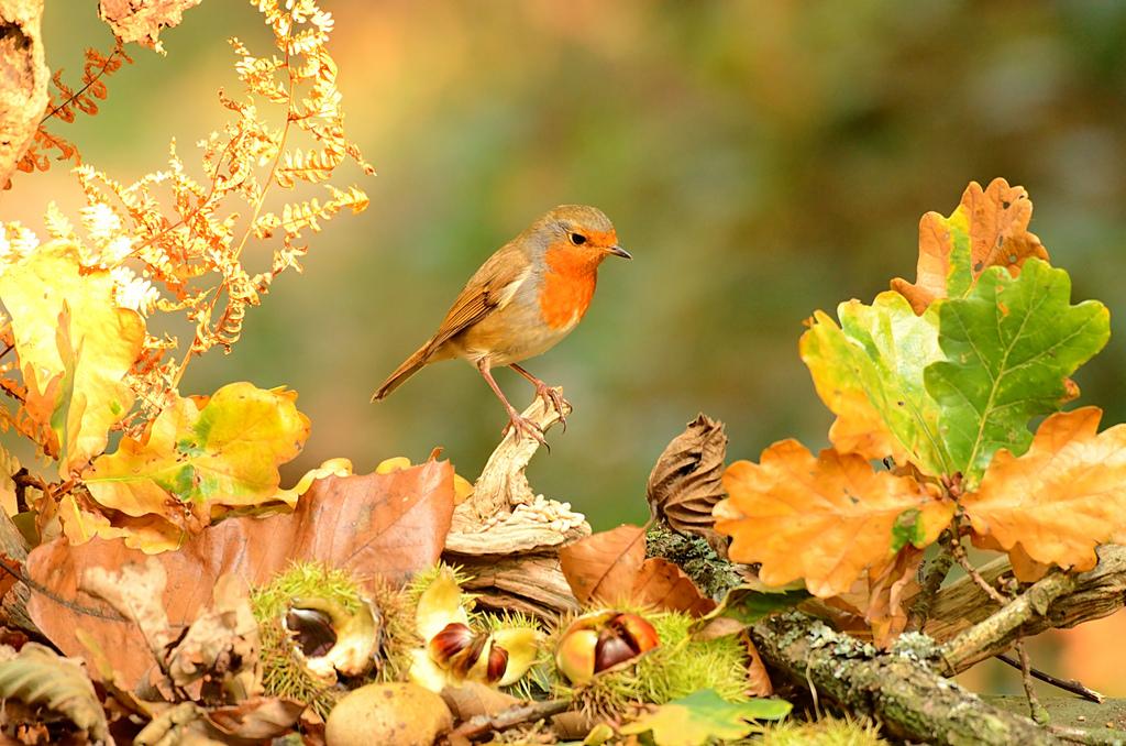 Il pettirosso d'autunno