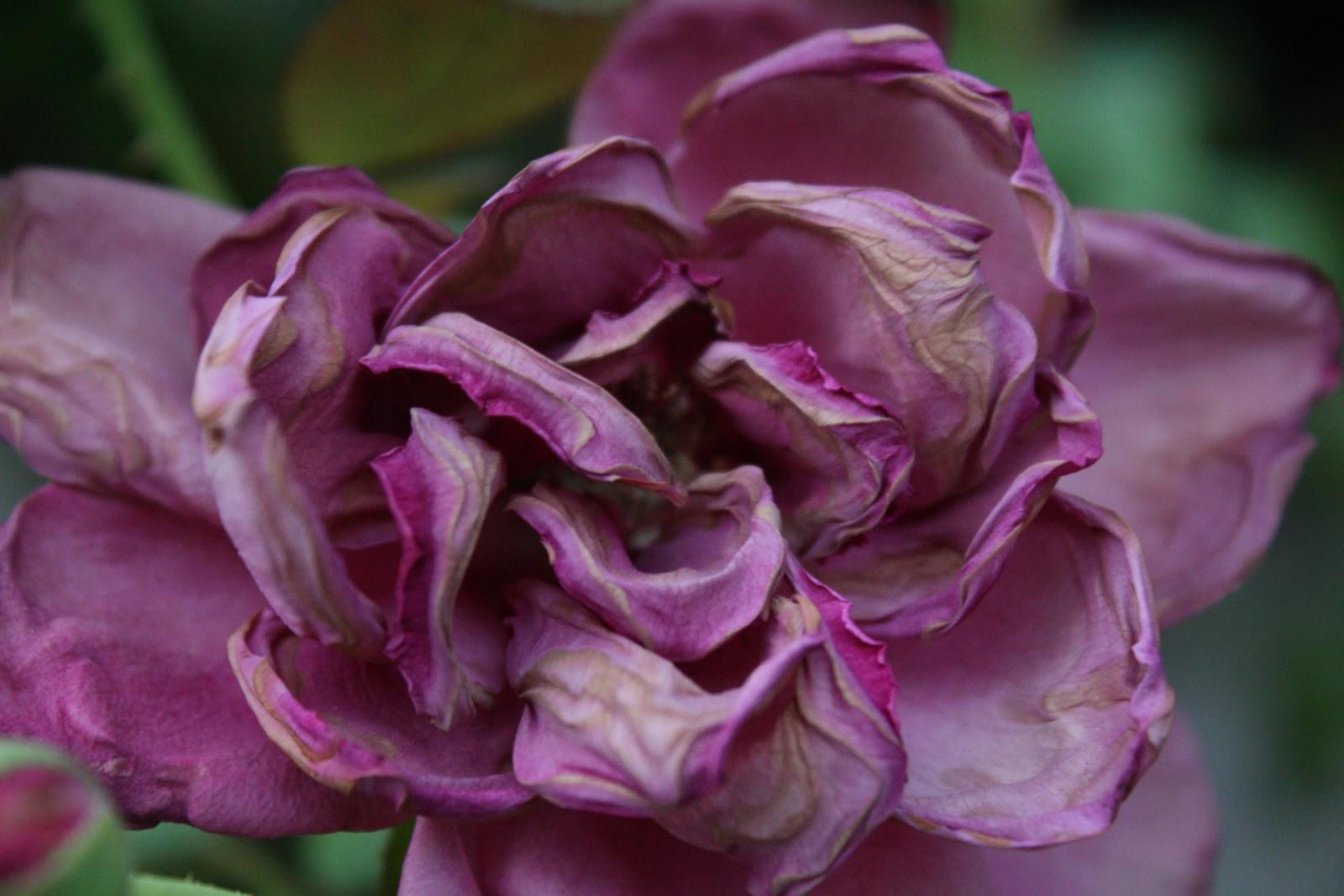 Una violetta appassita